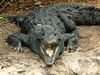 "<a href=""http://www.flickr.com/photos/afagen/4315202180/"">Photo of Crocodylus acutus by Adam Fagen</a>"