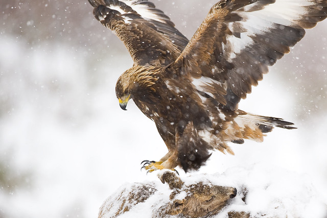 eagle attack - photo #25