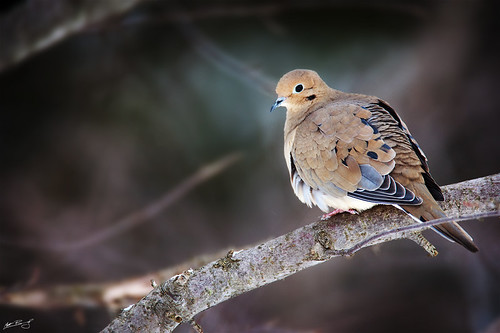 bird nature canon dove wildlife mourningdove portfolio 600mm 5dmarkii