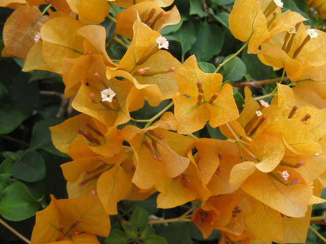 yellow bougainvillea explore hewys photos on flickr