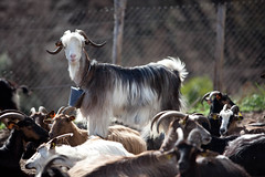 animal, mammal, goats, herd, domestic goat,
