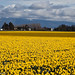 Skagit Valley - March 2010 (uploading)