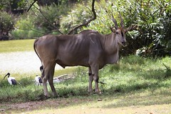 cattle-like mammal, animal, prairie, antelope, wildebeest, mammal, horn, common eland, fauna, meadow, pasture, savanna, grassland, safari, wildlife,