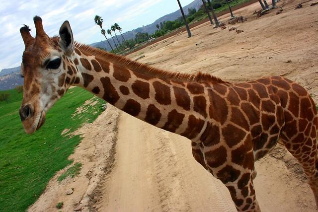 N. Laryngeus Recurrens Giraffe Geoffrey Giraff...