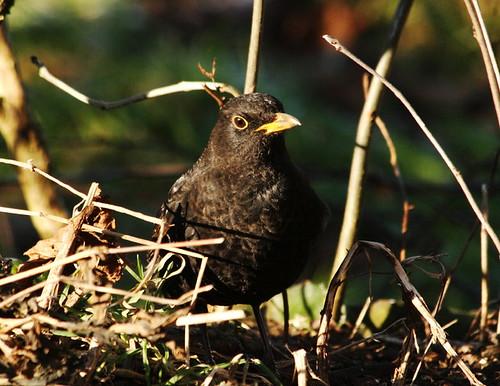 Blackbird 33200