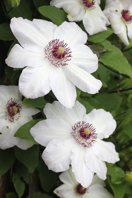 white clematis flowers flickr photo sharing