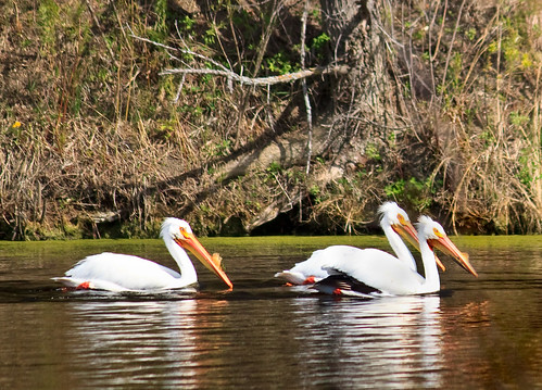 lake pelicans water birds southdakota spring pelican photoshopelements trippcounty rahnlake