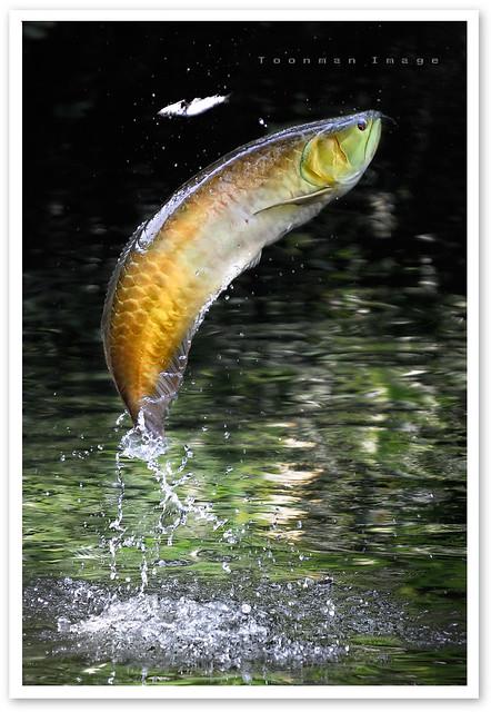 Singapore zoo golden arowana dragon fish a photo on for Freshwater dragon fish