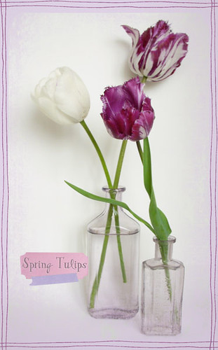 3 Purple Tulips
