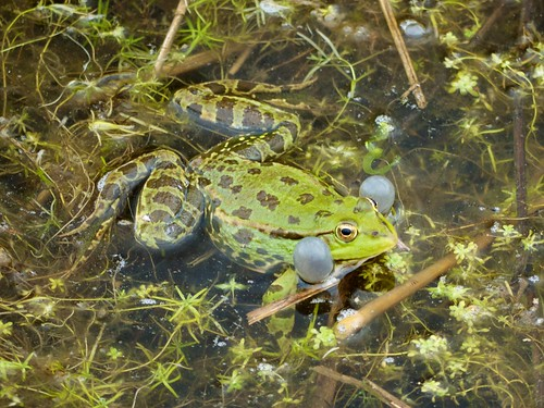 Croaking Marsh Frog at Rainham