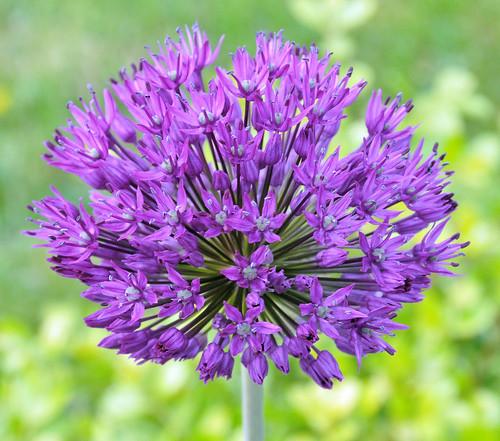 flower ball purple onion langley purpleflower nikond90 nikkor18to200mmvrlens
