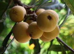 fruit tree, branch, tree, flora, fruit, loquat,