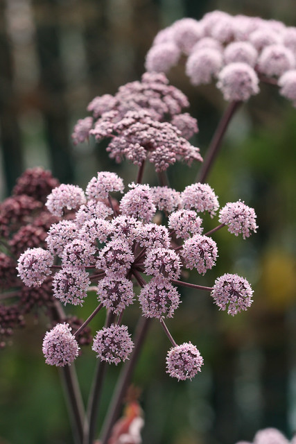 Angelica stricta purpurea