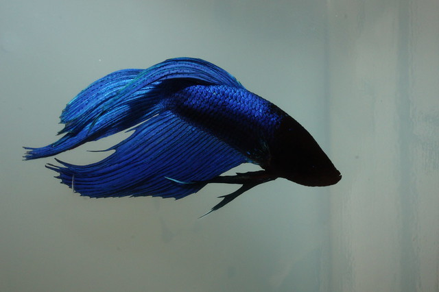 Basic Types of Bettas