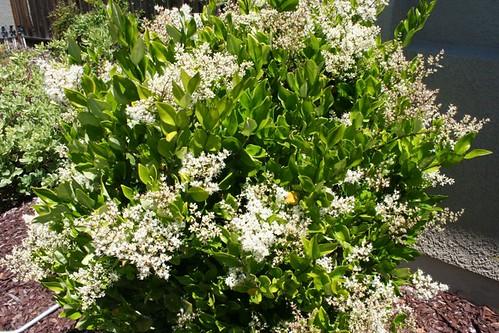 Waxleaf Privet (Ligustrum japonicum 'Texanum')