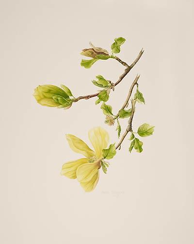 "Jessica Tcherepnine, Magnolia 'Judy Zuk', 2007  Watercolor on Fabriano Artistico, 20"" × 16"". © Copyright Brooklyn Botanic Garden"