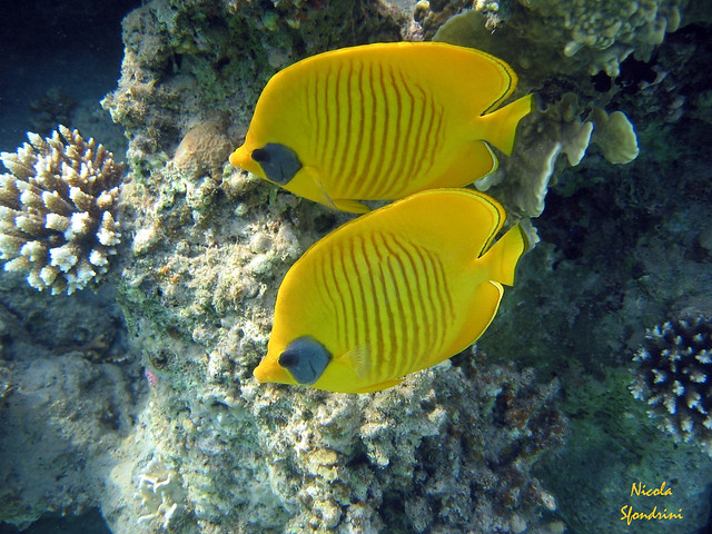 Pesci farfalla flickr photo sharing for Pesce rosso butterfly