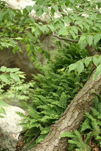 Polypodium virginianum (rock polypody) with Betula lenta (sweet birch). Photo by Uli Lorimer.
