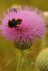 honey bee, pollen, flower, thistle, plant, invertebrate, macro photography, membrane-winged insect, flora, fauna, close-up, plant stem, bee, bumblebee,