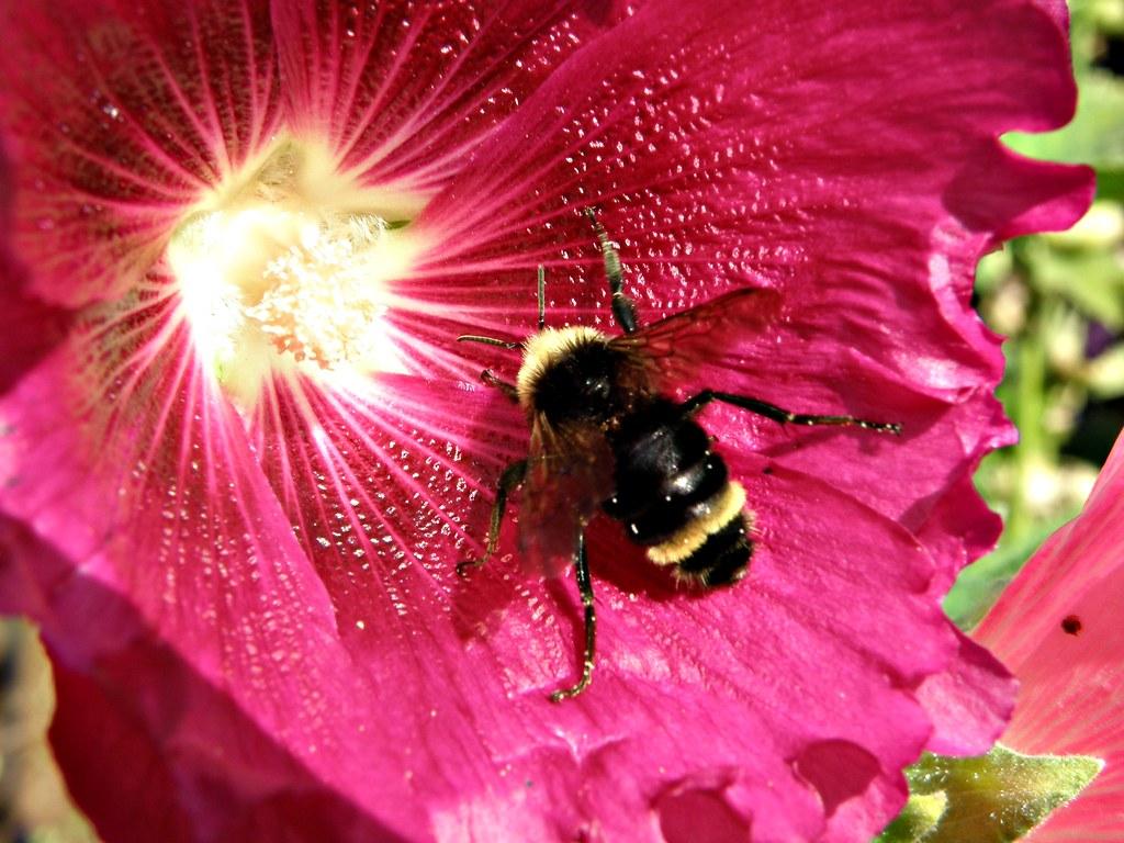 P8186492 Bumblebee