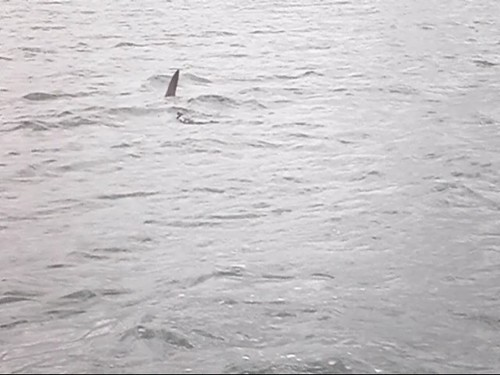 Lake Macquarie Shark Pt 3