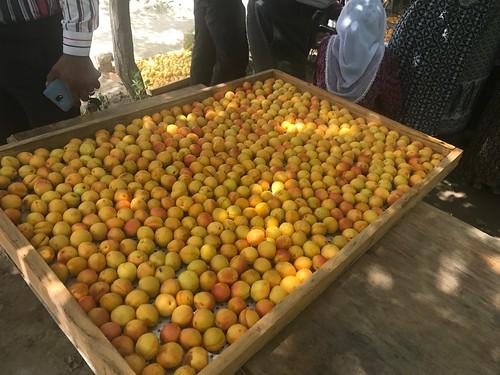 Tajikistan: Improving dried apricots