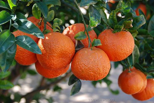 Mandarin Tangerines