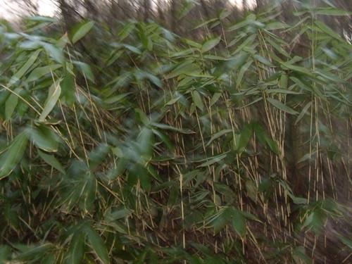 Through the bamboo DSCN8333