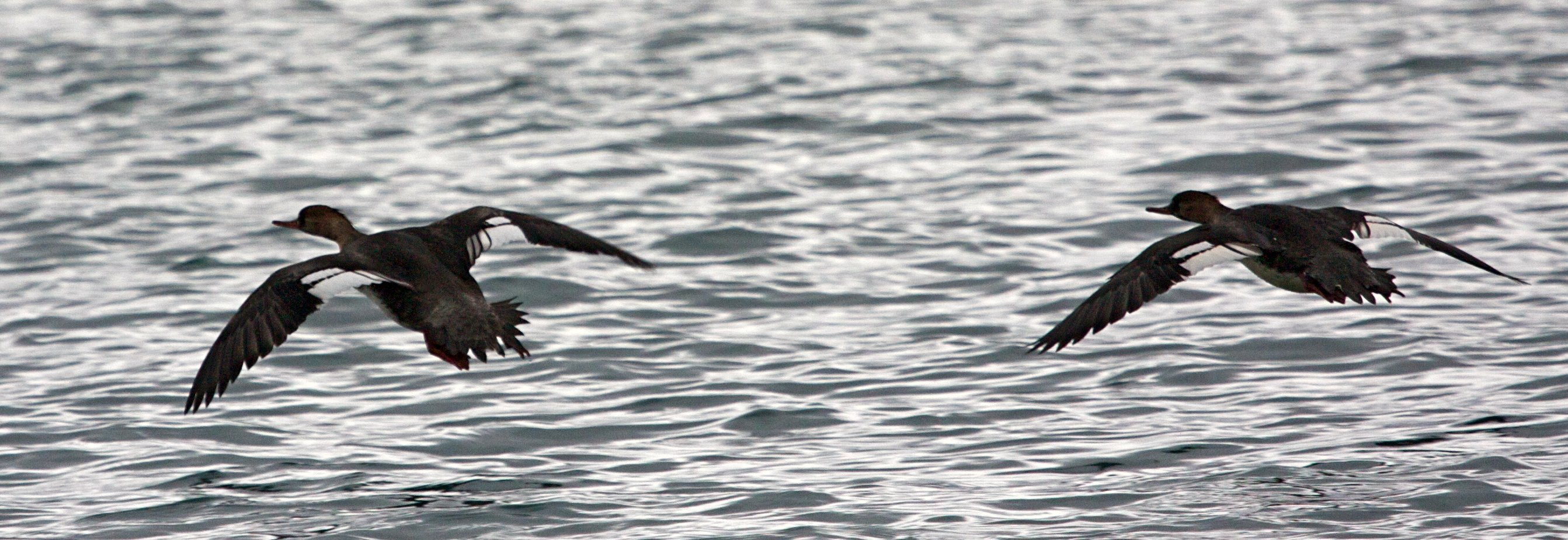 Red-breasted Mergansers f.