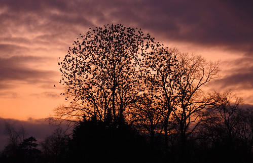 Roosting starlings