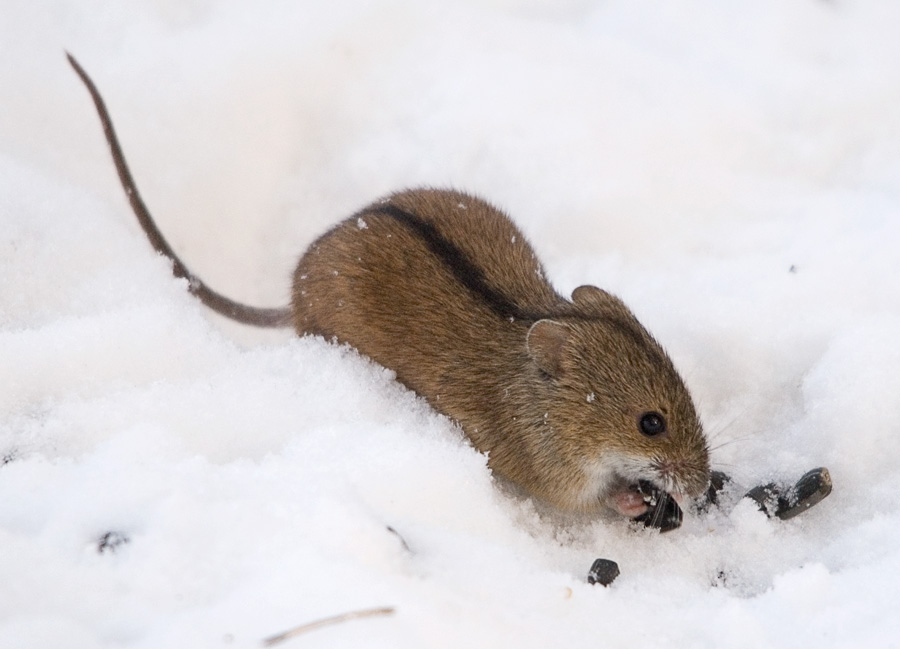 Hog-nose rat discovered -- ScienceDaily