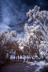 Spanish Moss in IR