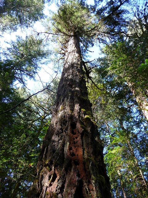 Old growth Douglas fir forest   Flickr - Photo Sharing!  Douglas Fir Forest