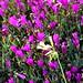 flowering iceplant