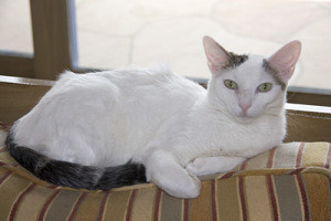 white devon rex cat