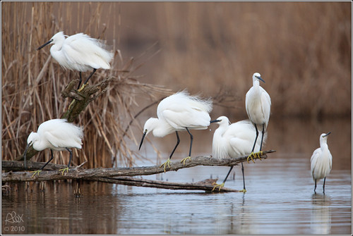 Group of Little Egrets (Egretta garzetta)