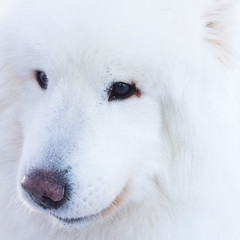 dog breed, animal, dog, maremma sheepdog, white shepherd, slovak cuvac, berger blanc suisse, greenland dog, carnivoran, great pyrenees, american eskimo dog, samoyed,