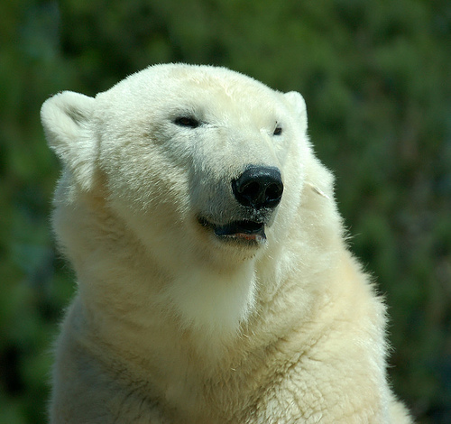 Polar bear smiling - photo#3