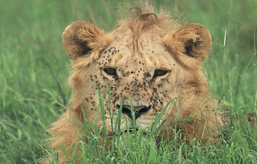 Younger male lion in grass