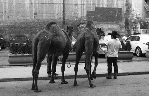 Camels on Penn Ave.