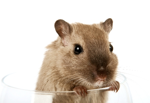 Concept Photo Of A Pet Rodent In A Wine Glass Flickr