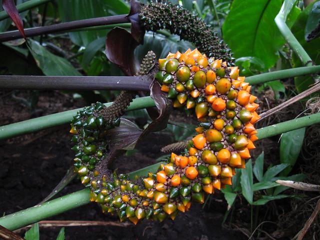 Anthurium crassinervium in the Tropical Pavilion. Photo by Rebecca Bullene.