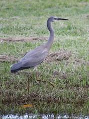 wetland(1.0), animal(1.0), fauna(1.0), little blue heron(1.0), heron(1.0), pelecaniformes(1.0), shorebird(1.0), beak(1.0), bird(1.0), wildlife(1.0),