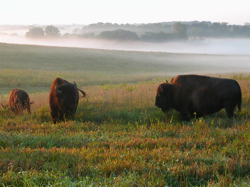 Bison roam the fields at Neal Smith National Wildlife Refuge by Richard C. Hager