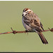 Lark Sparrow (multiple shots)