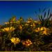 Amanecer de primavera en las dunas (asteriscus maritimus)
