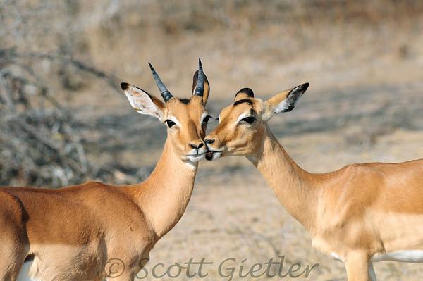 Impala Kiss, South Africa   Flickr - Photo Sharing! - photo#38