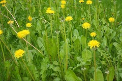 annual plant, prairie, dandelion, flower, field, yellow, plant, sow thistles, flatweed, herb, flora, meadow, grassland,