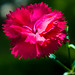 Carnation by Alfredk
