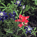 Indian Paintbrush & Bluebonnet